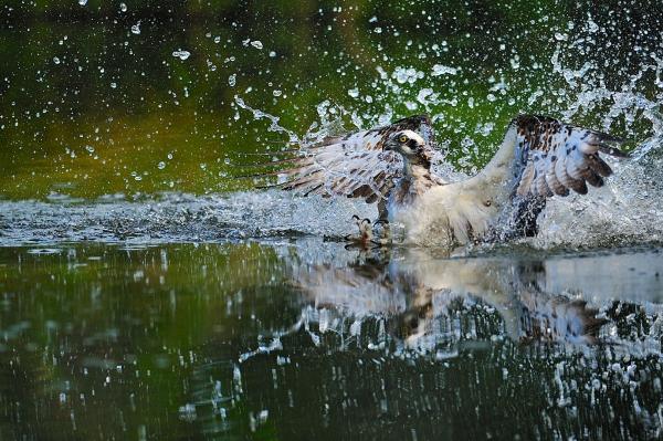 Fiskeørn med bomslag. 42 poeng. © Ketil Knudsen