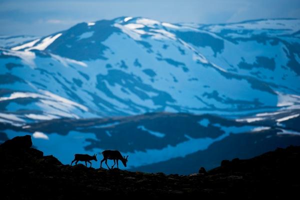 Reinsdyr i landskap. Gull. © Arne K Mala