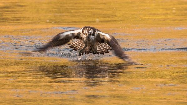 Fiskeørn på jakt. 40 poeng. © Thomas Mørch