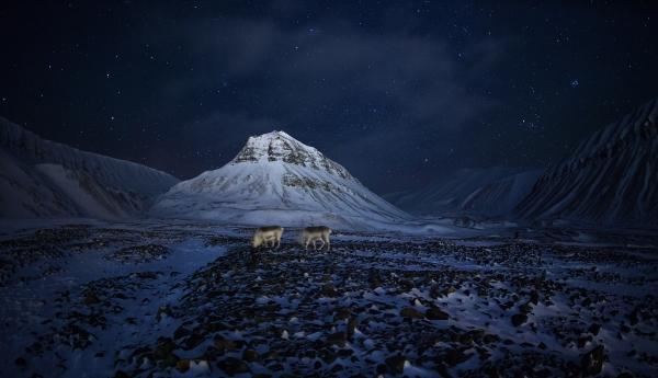 Månedens bilde: Svalbardrein. Gull. © Thomas Mørch