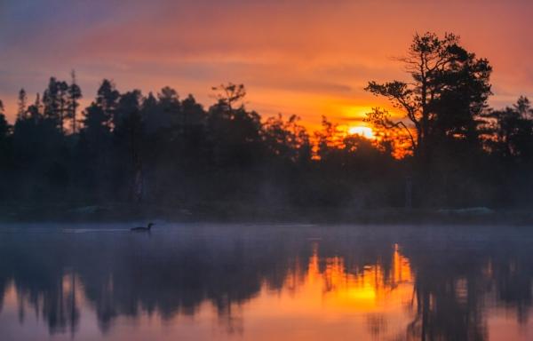 Smålom. Gull. © Bernt Østhus
