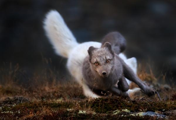 Jaget fjellrev. 44 poeng. © Bernt Østhus