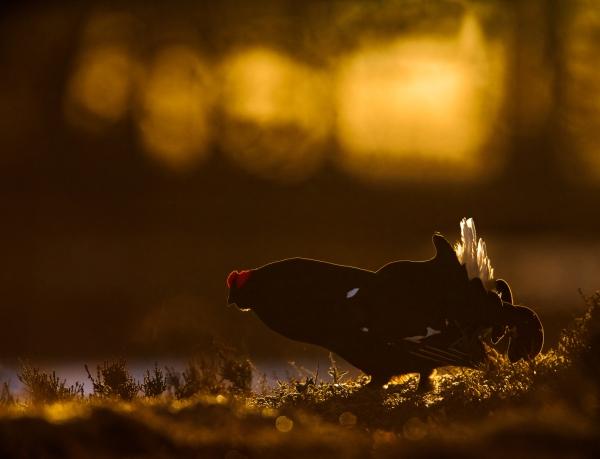 Orrhanen og himmelhanen. Gull. © Bernt Østhus