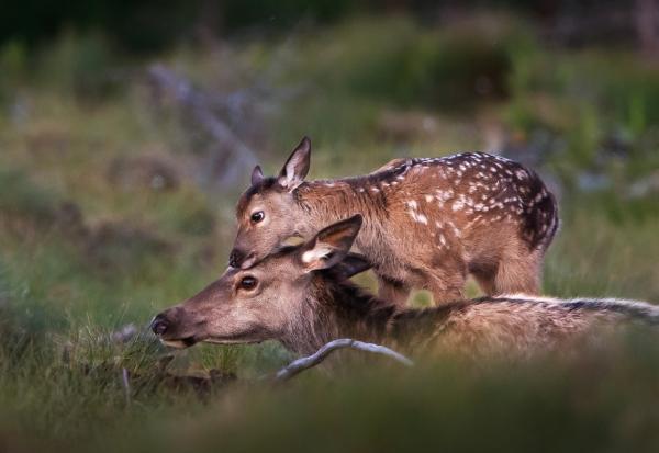 Hjortekalv vekker mor. Gull. © Bernt Østhus