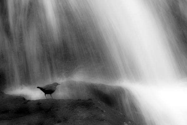 Fossekall. Gull. © Leif Rustand