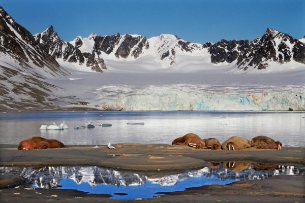 Hvalross i Svalbardlandskap. 42 poeng. © Jørgen Skaug