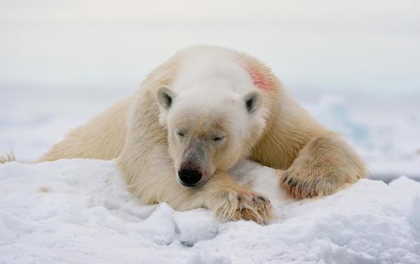 Bjørnen sover. 40 poeng. © Olav Thokle