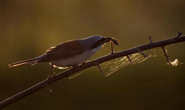 Tornkate spidder insekt. 41 poeng. © Bjørn Aksel Bjerke