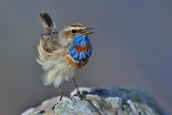 Syngende blåstrupe. Gull. © Ketil Knudsen