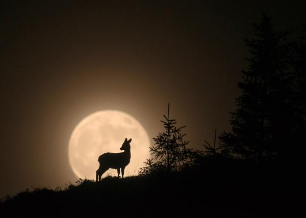 Hjort mot måne. Gull. © Vegard Lødøen