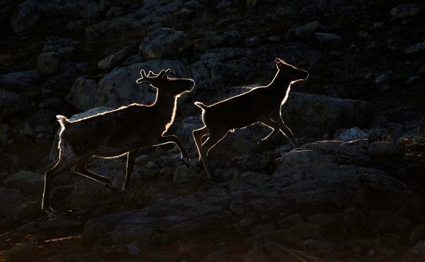Reinsdyr i motlys. Gull. © Arne K. Mala