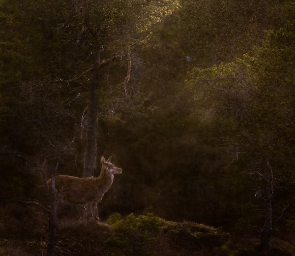Hjort i duskregn. Gull. © Bernt Østhus