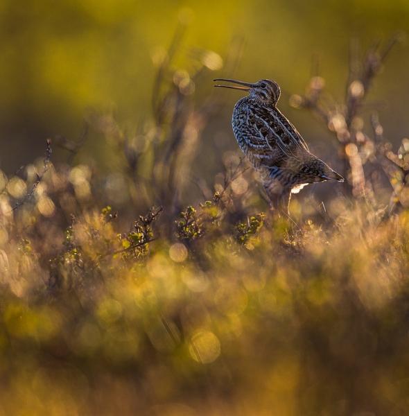 Dobbeltbekkasin i motlys. Gull. © Bernt Østhus