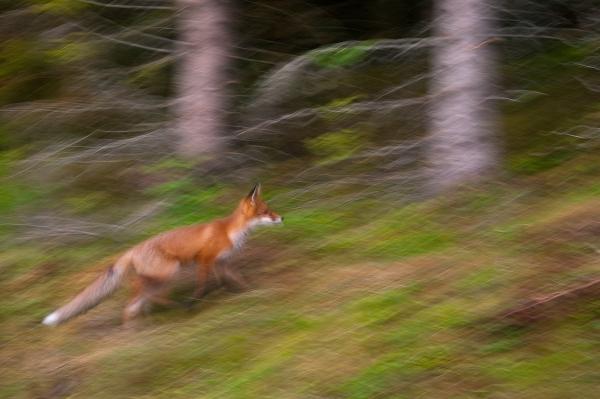 Eventyrskogen - rødrev. 42 poeng. © Terje Sylte