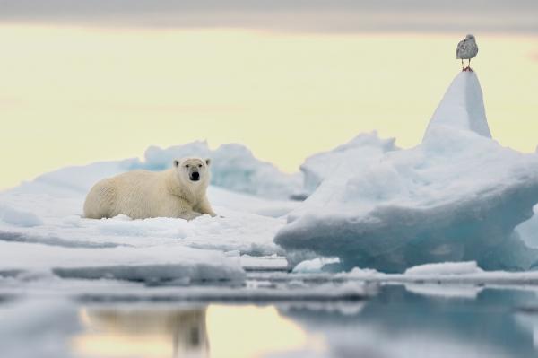 Isbjørn og måke. 44 poeng. © Olav Thokle