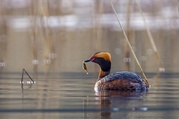 Horndykker med fangst. Gull. © Terje Bjerkan