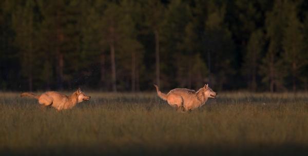 Ulv etter ulv. Gull. © Bjørn Aksel Bjerke