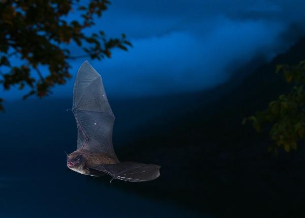 Flaggermus. 44 poeng. © Vegard Lødøen