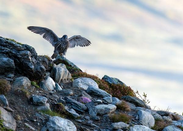 Jaktfalk. 43 poeng. © Vegard Lødøen