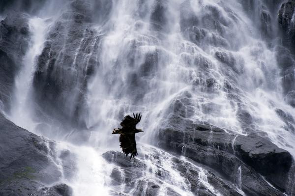 Havørn i foss. Gull. © Vegard Lødøen