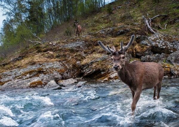 Hjort i elv. 44 poeng. © Vegard Lødøen