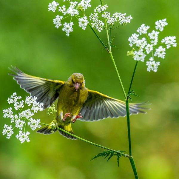 Grønnfink. 343 poeng. © Vegard Lødøen