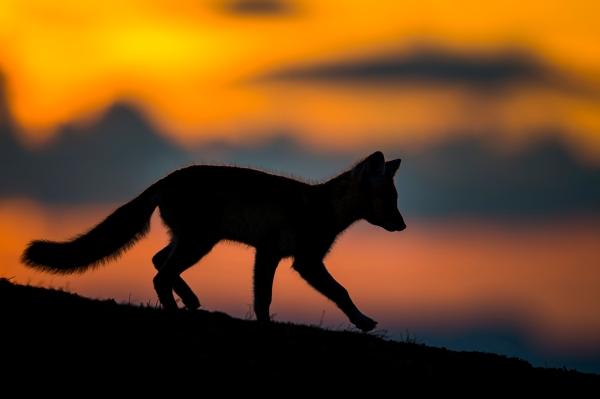 Fjellrev i solnedgang. Gull. © Arne K Mala