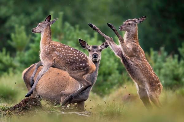 Ha deg vekk. Dette er mi mamma - hjort. Gull. © Arne K Mala