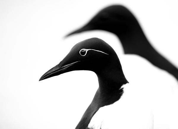 Lomvi. Gull. © Arne K Mala