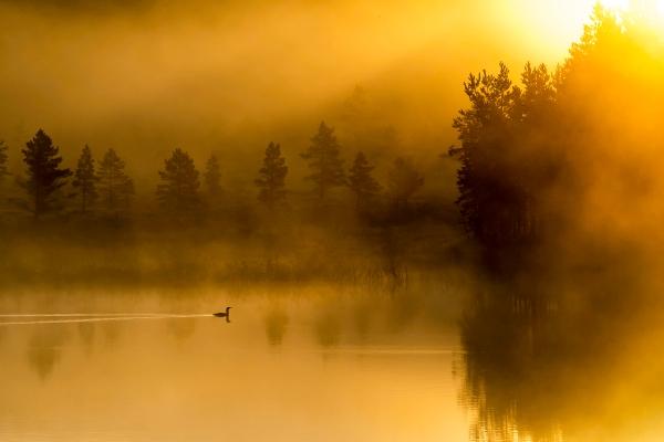Morgen ved smålomtjernet. Gull. © Arne K Mala