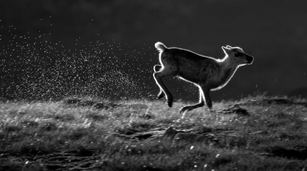 Reinskalv i full fart. 44 poeng. © Arne K Mala