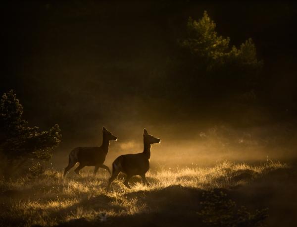 Hjort på morgentrekket. 42 poeng. © Bernt Østhus