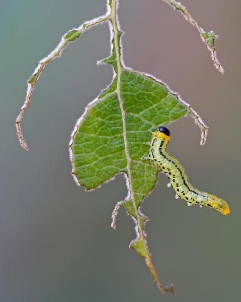 Bladvepslarve. 43 poeng. © Dag Norman Sværi