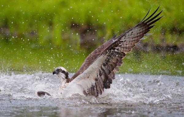 Fiskeørn. 44 poeng. © Terje Sylte