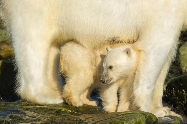Trygghet hos isbjørnmor. Gull. © Terje Sylte