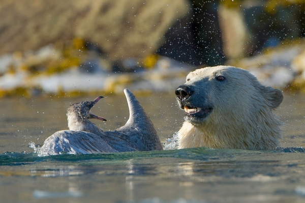 Tenner mot nebb. Gull. © Terje Sylte