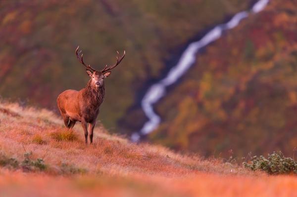 Kronhjort i høstfjell. Gull. © Terje Sylte