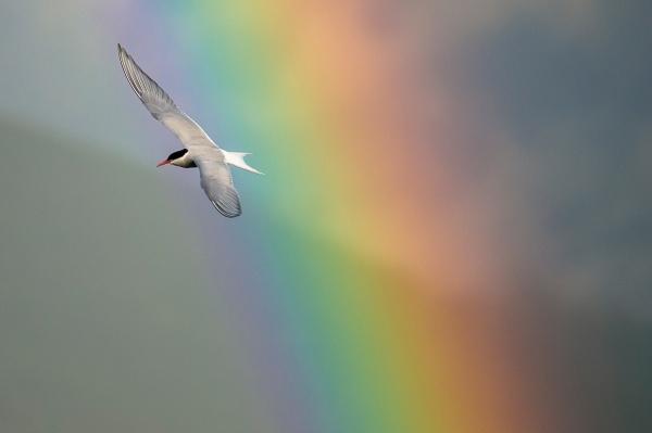 Makrellterne i regnbue. Gull. © Terje Sylte