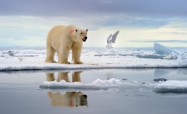 Svalbardparadis. Gull. © Olav Thokle