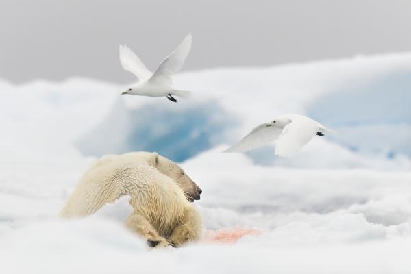 Ismåker og isbjørn. 40 poeng. © Olav Thokle