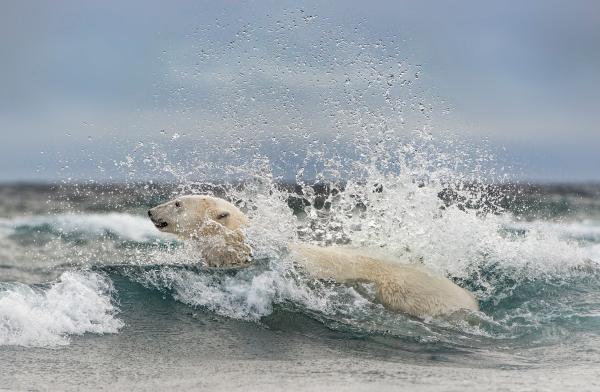 Isbjørnbad. Gull. © Olav Thokle