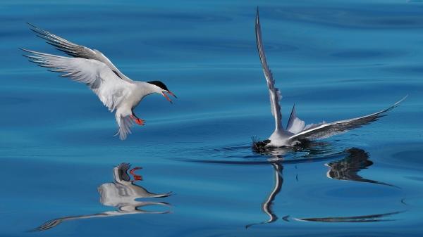 Makrellterner. Gull. © Ketil Knudsen