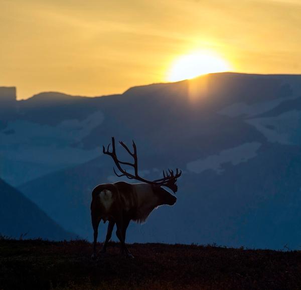 Rein i solnedgang. 42 poeng. © Vegard Lødøen