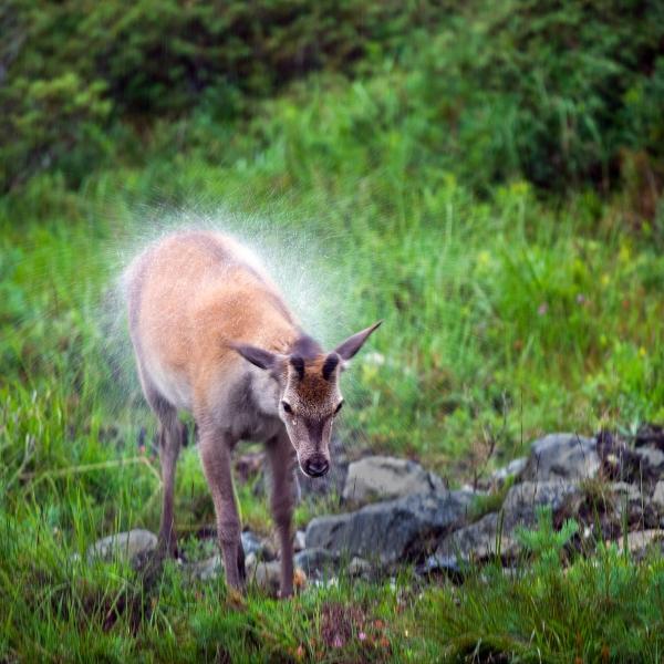 Hjort. 43 poeng. © Vegard Lødøen