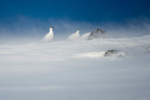 Ryper i snøfokk. 42 poeng. © Arne K. Mala