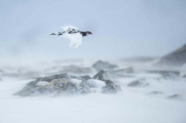 Fjellrype i flukt. 44 poeng. © Arne K. Mala