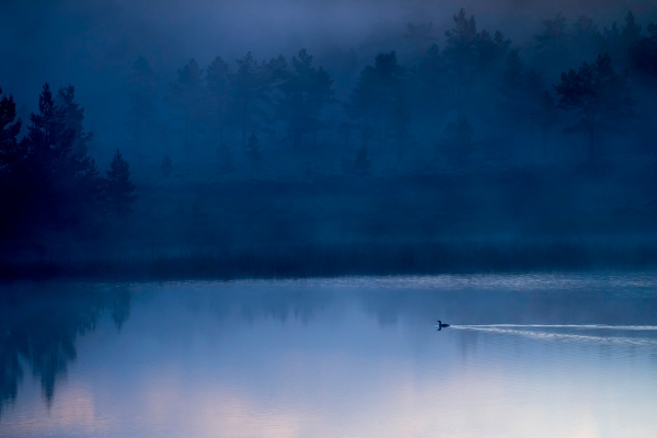 Smålom i blåtimen. Gull. © Arne K. Mala