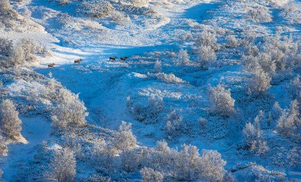 Elg i vinterfjell. Gull. © Bernt Østhus