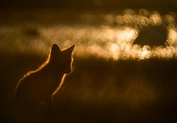 Rødrev i solnedgang. Gull. © Bernt Østhus