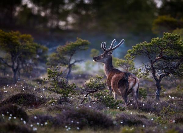 Hjort i myrull. Gull. © Østhus